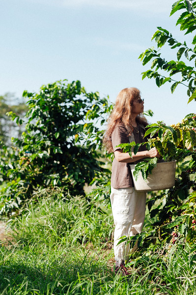 Lorie Obra picks coffee on her farm in the Ka'u district of the Big Island of Hawai'i. Rusty's Hawaiian Coffee is known for its natural processing.