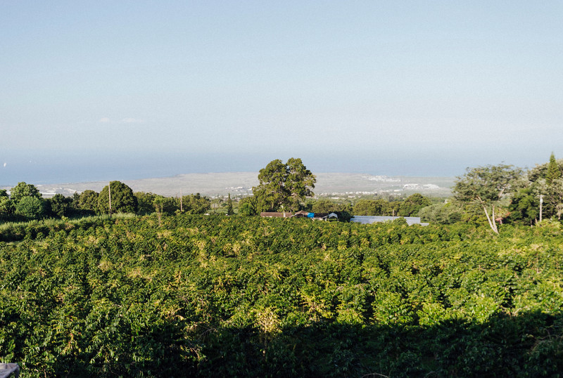 The coffee trees at Hula Daddy Coffee Farm, where the beans have ocean views.