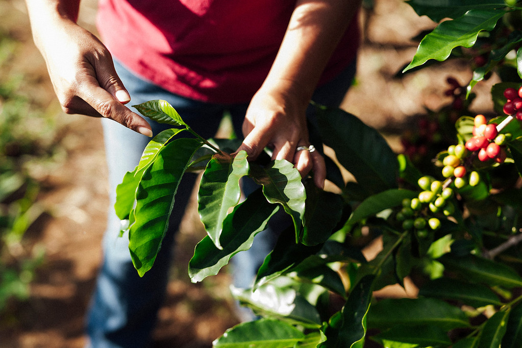 Joan Obra shares what makes a borbon coffee tree distinct from a typica. Obra works on her family's coffee business, Rusty's Hawaiian, a Ka'u coffee.