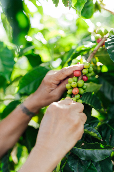 Lorie Obra hand picks the coffee on her farm.
