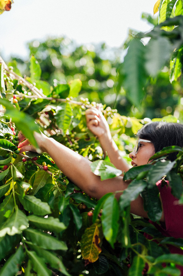 Joan Obra inspects ripe beans at her family's coffee farm in Ka'u, on the Big Island of Hawai'i.