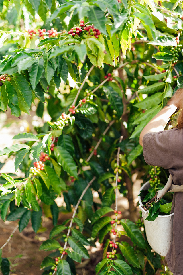 Ka'u coffee trees tend to ripen year round because of local weather patterns. Lorie Obra picks beans on her trees at Rusty's Hawaiian Coffee farm.
