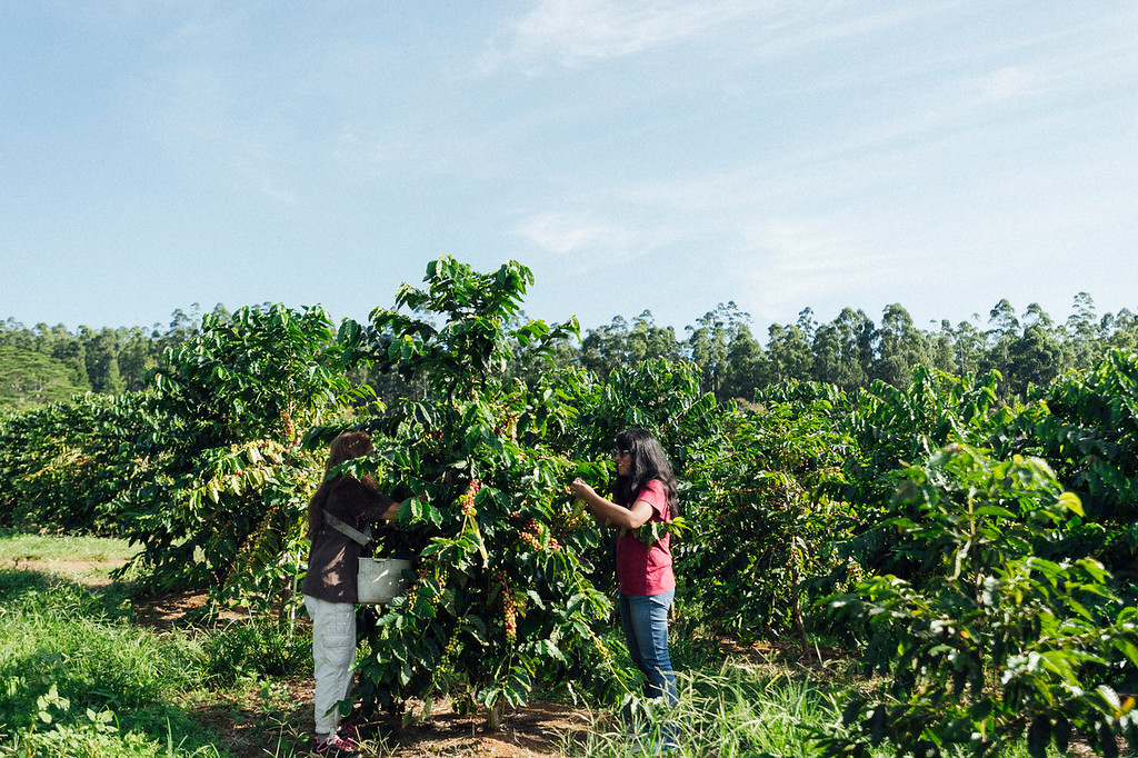 Lorie Obra, left, and Joan Obra, right, inspect coffee cherries on the trees at her family's Ka'u coffee farm. Rusty's Hawaiian Coffee is known for its natural processing.