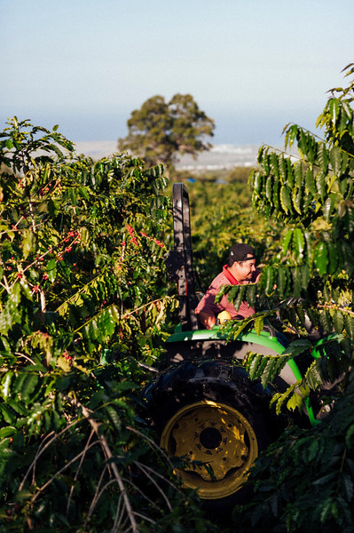 Farm workers run a tractor at Hula Daddy Kona Coffee farm in Holualoa on the Big Island of Hawaii.