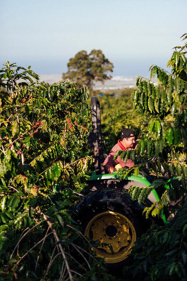 Farm workers run a tractor at Hula Daddy Kona Coffee farm in Holualoa on the Big Island of Hawaii.