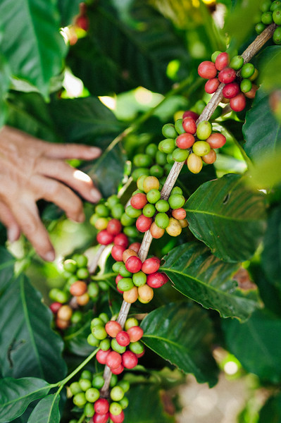Coffee cherries on the branch at Rusty's Hawaiian Coffee farm in the Ka'u district of the Big Island of Hawaii.