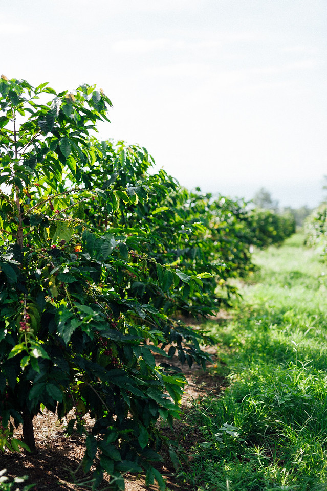 Coffee trees in the morning sun at Rusy's Hawaiian Coffee farm in the Ka'u district of the Big Island of Hawaii.
