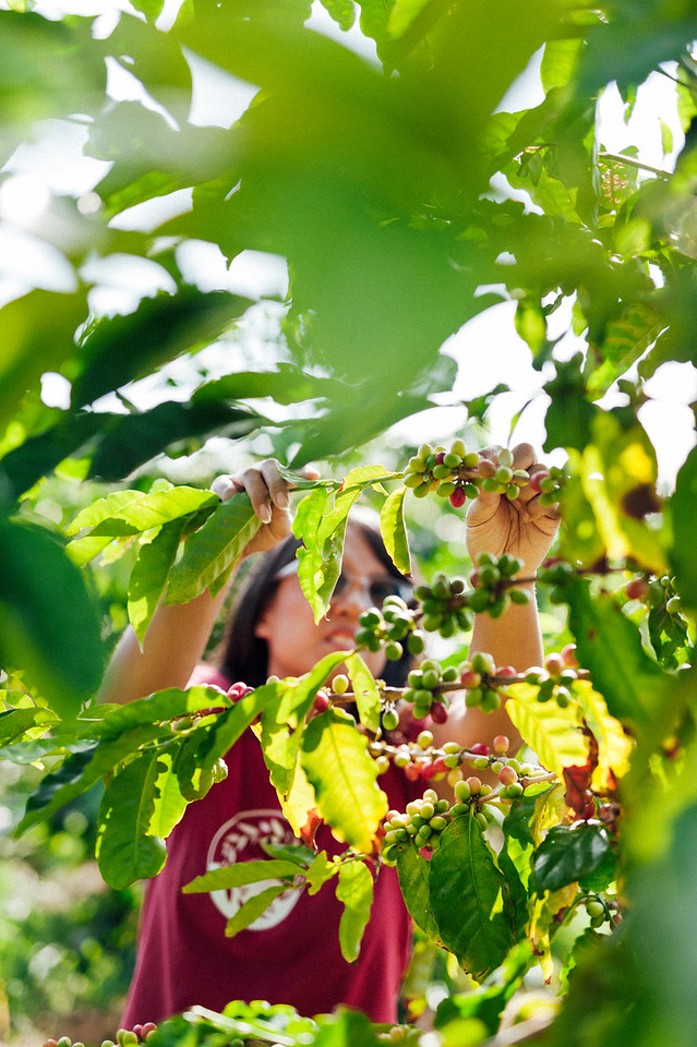 Joan Obra inspects coffee cherries on the trees at her family's Ka'u coffee farm. Rusty's Hawaiian Coffee is known for its natural processing.