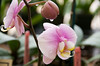 Akatsuka Orchid Gardens located in Volcano has hundreds of beautiful orchids for sale in their showroom (Photo credit: Jerry Leggett, ©2009, All rights reserved)