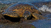 Honu ... Sea Turtle.  (Photo credit: Jerry Leggett, ©2011, All rights reserved)