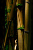 Bamboo  (Photo credit: Patsy Ferrell, ©2010, All rights reserved)