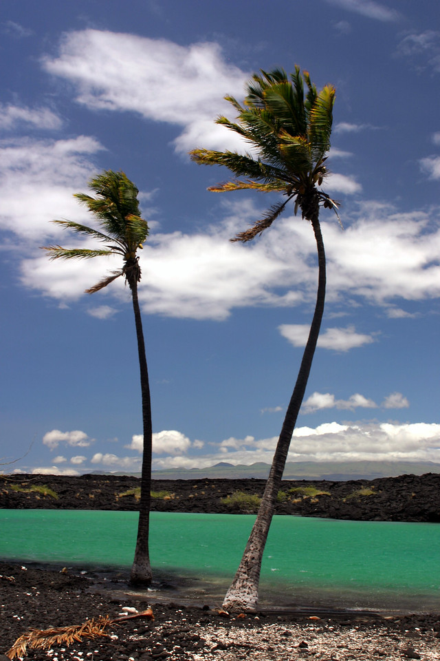 Swaying palm trees at Kiholo Bay