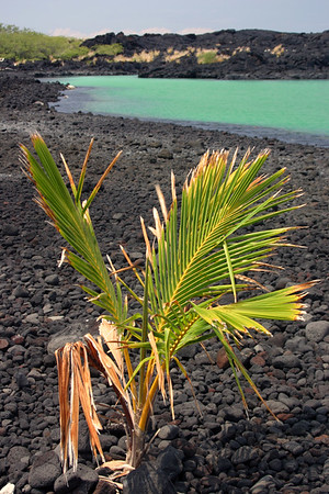 A lone palm growing near the shore of Kiholo Bay