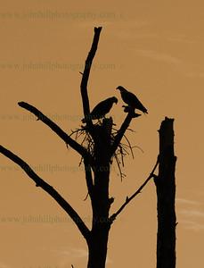 DSC_0346-cr-h-sp-Osprey Nest