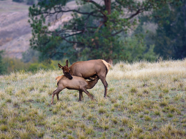 Elk mother and child