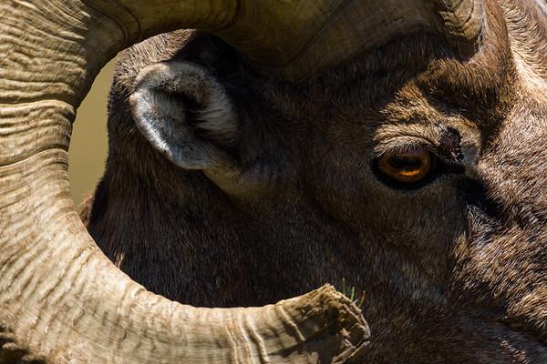 Big horn sheep curl