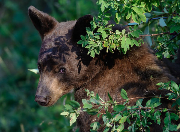 Young black bear, National Bison Range