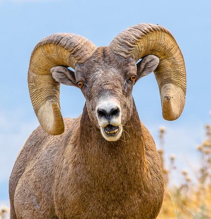Surprised bighorn sheep