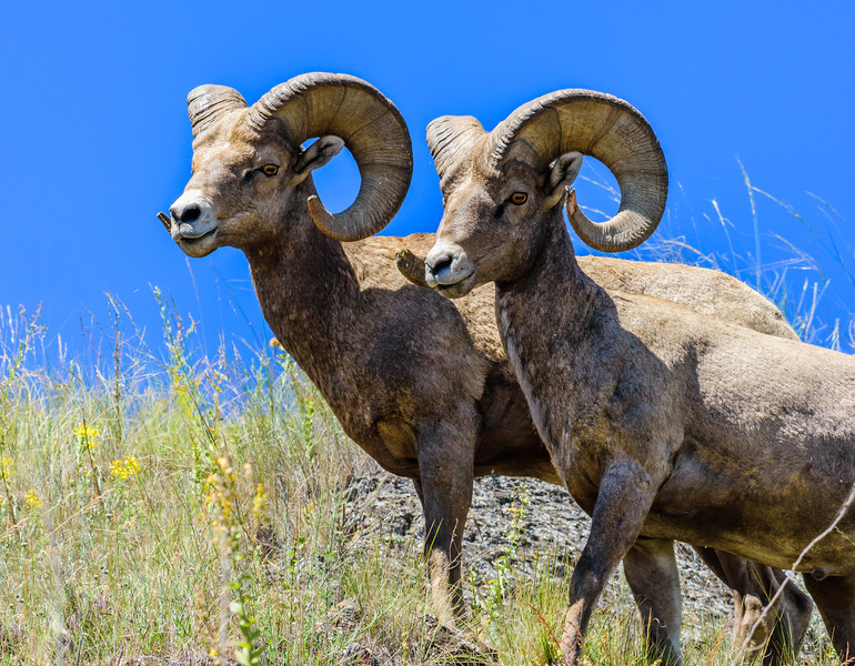 Big horn sheep twins