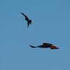 Cooper's Hawk Redtailed Hawk