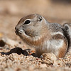 Whitetailed antelope squirrel