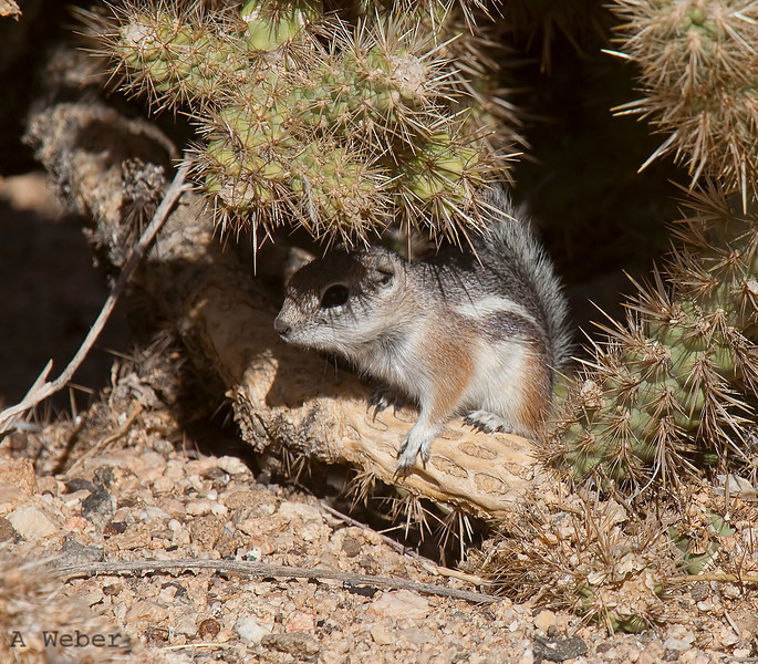 Whitetailed antelope squirrel