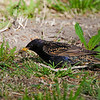 European Starling<br /> Sturnus vulgaris