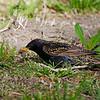 European Starling<br /> Sturnus vulgaris