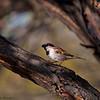 House Sparrow<br /> Passer domesticus House Sparrow