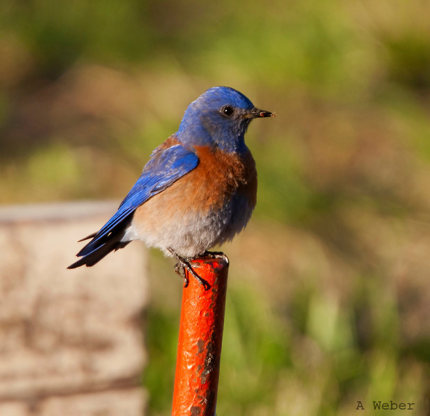 Western Bluebird<br /> Sialia mexicana