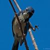 Western Scrub-Jay<br /> Aphelocoma californica