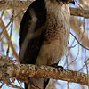 Red-tailed Hawk<br /> Buteo jamaicensis Redtailed Hawk