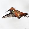 Rufous Hummingbird<br /> Selasphorus rufus