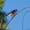 Cooper's Hawk<br /> Accipiter cooperii Cooper's Hawk