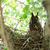 Long-eared Owl<br /> Asio otus