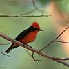 Vermilion Flycatcher<br /> Pyrocephalus rubinus