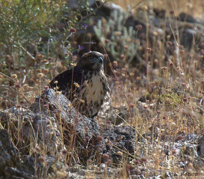 What if I hid myself? Redtailed Hawk