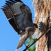 Redtailed Hawk