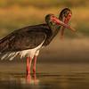 Black Stork (Ciconia nigra)
