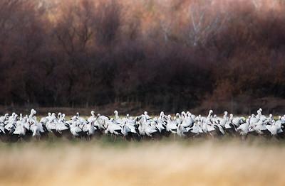 The White Stork (Ciconia ciconia)