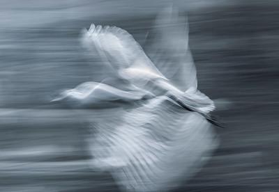 Slow Motion - Cattle Egret (Bubulcus ibis)