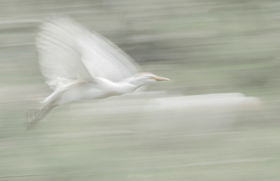 Slow Motion - Cattle Egret (Bubulcus ibis)