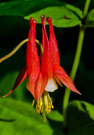 Columbine, Big Schloss Mountain, VA