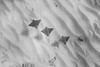 Spotted eagle rays flying