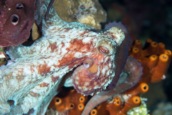 Caribbean reef octopus on a night dive