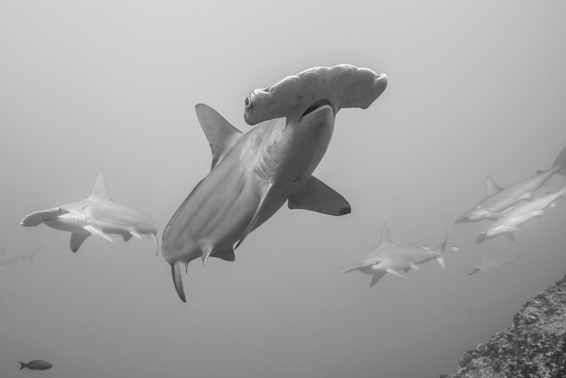 Scalloped hammerheads in Cocos