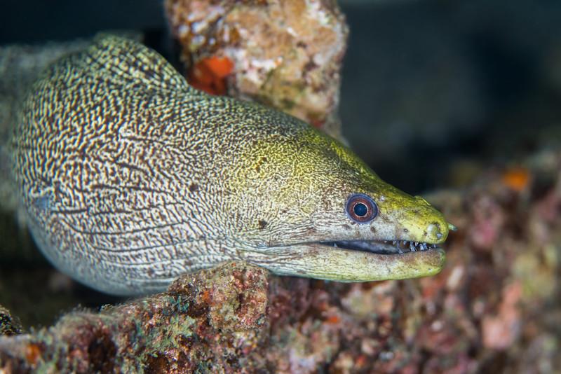 Undulated moray eel (Gymnothorax undulatus)