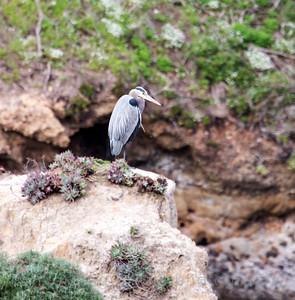 Point Lobos:  Blue Heron.