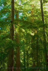 0083 Muir Woods National Park
