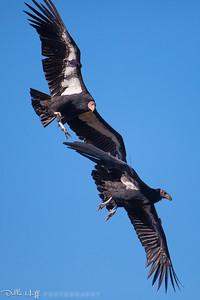 Condors in Flight, Big Sur, California